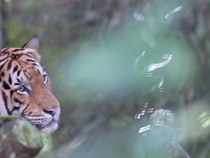 Mini Documentary: The Caretaker - Malayan Tiger